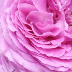 Rózsás kényeztetés a Lush-tól